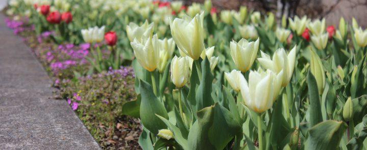 春の公園(チューリップ)